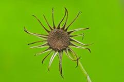 wysuszony kwiat Zdjęcia Stock