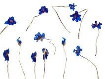 Wysuszony kwiat Hepatica Zdjęcia Stock