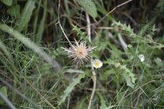 Wysuszony kwiat oset fotografia stock