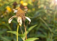 Wysuszony kwiat w ogródzie na słońca świetle Obraz Royalty Free