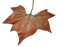 wysuszony liść Zdjęcie Stock