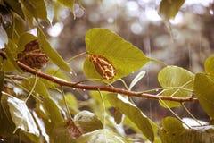 Wysuszony liść w padać Fotografia Stock