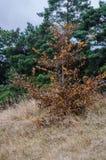 Wysuszony młody drzewo obraz royalty free