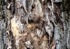 Wysuszony - out i pękający drzewnej barkentyny tekstury tło Fotografia Royalty Free