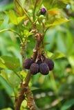 Jatropha Curcas owoc Zdjęcia Stock