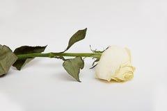 Wysuszony róża kwiat z liśćmi odizolowywającymi nad bielem Zdjęcie Royalty Free