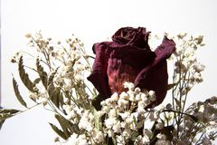 Wysuszony różany i dziecko oddech Obraz Royalty Free