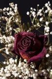Wysuszony różany i dziecko oddech Zdjęcia Royalty Free