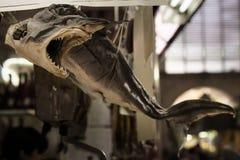 Wysuszony rekin Obraz Stock