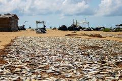 wysuszony rybi słońce Obraz Royalty Free