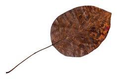 Wysuszony spadać żółty jesień liść bonkrety drzewo obrazy stock