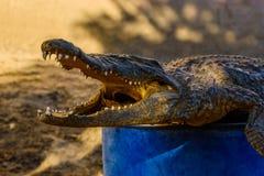 Wysuszony strach na wróble młody Nile aligator zdjęcie stock