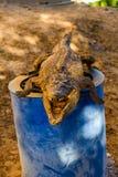 Wysuszony strach na wróble młody Nile aligator fotografia stock