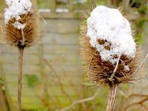 Wysuszony teasel ziarna śnieg Zdjęcie Royalty Free
