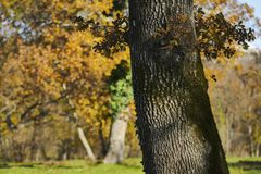 Wyszczególnia dębowych drzewa w słoneczny dzień plamy tle Obrazy Stock