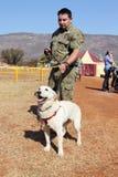 Wyszkolony psa policyjnego labradora pies, lek, narkotyki i środki wybuchowi, wi Zdjęcia Stock