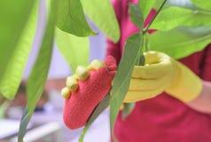 Wytarcie pył od houseplants Fotografia Stock