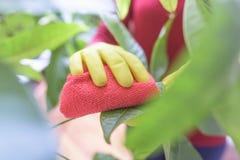 Wytarcie pył od houseplants Zdjęcia Royalty Free