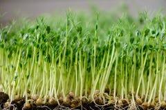 Wytraweni korzenie zieleni krótkopędy Obraz Royalty Free