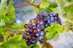 Wytwórnii win pszczoły i winogrona Obraz Royalty Free