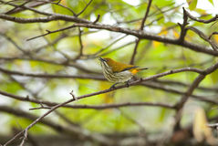 wywiercony flowerpecker kolor żółty Zdjęcie Stock
