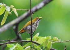 wywiercony flowerpecker kolor żółty Zdjęcia Royalty Free