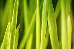 Wywodzi się trawy makro- fotografię Obrazy Royalty Free