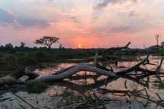 Wywrócony drzewo przy zmierzchem Obrazy Stock