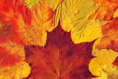 Wzór żółci i czerwień spadać jesień liście Zdjęcie Stock