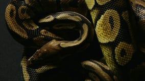 Wzór balowy pytonu ` s snakeskin zdjęcie wideo