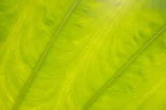 Wzór bananowy liść Obraz Royalty Free