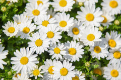 Wzór białej stokrotki kwiat w ogródzie Zdjęcie Royalty Free