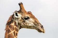 Wzór i tekstura żyrafy Futerkowa szyja głowa i Fotografia Royalty Free