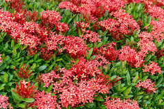 Wzór Ixora Lamk Chinensis kwiat (Chiński ixora) obrazy royalty free