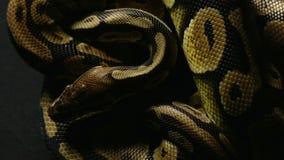 Wzór królewski balowy pytonu ` s snakeskin zbiory wideo