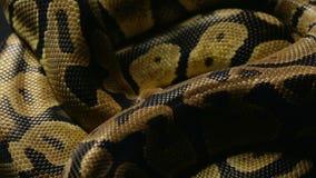 Wzór królewski pytonu ` s snakeskin zbiory wideo