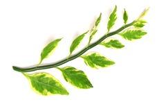 Wzór liścia biały kolor żółty i zieleń na gałąź odizolowywamy na whit Obrazy Stock