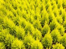 Wzór młodzi conifer drzewa Zdjęcie Stock