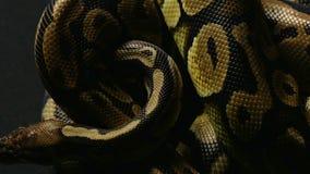Wzór pełzający pytonu ` s snakeskin zbiory wideo