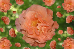 Wzór róże z kroplami rosa z świeceniem od słońca Obraz Royalty Free