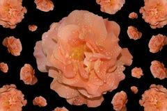 Wzór róże z kroplami rosa na czarnym tle Zdjęcie Royalty Free