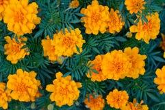 Wzór złoto kwitnie nagietków tagetes między zielonymi liśćmi Obraz Royalty Free
