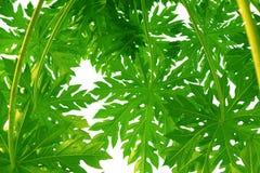Wzór Zielony melonowa liścia styl i kształt na białym tle obrazy stock