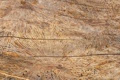 Wz?r na drzewnego baga?nika beli po szkody powodowa? korowat? ?cig? drewniana naturalna t?o tekstura zdjęcia royalty free