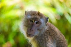 Wzburzony małpi twarzy wyrażenie zdjęcia stock