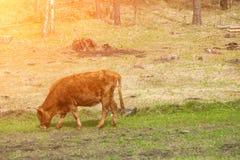 Wzdłuż brown krowy żuć trawy przeciw zielonemu polu Zdjęcie Stock
