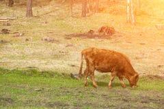 Wzdłuż brown krowy żuć trawy przeciw zielonemu polu Obraz Stock
