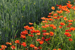 wzdłuż czerwonych kukurydzanych łąkowych maczków Obrazy Royalty Free