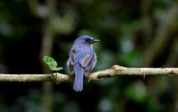 Wzgórza flycatcher Cyornis błękitni banyumas męscy Obrazy Royalty Free