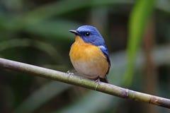 Wzgórza flycatcher Cyornis błękitnych banyumas Męscy śliczni ptaki Thailand Obraz Stock